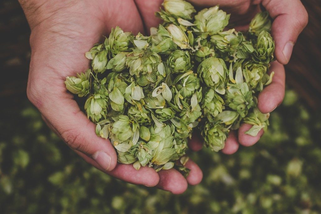 green hops in man's hand